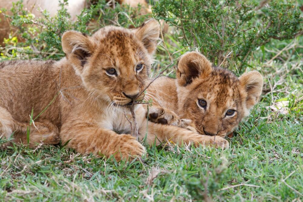 12487_La Kalle - Nacen dos leones gracias a la inseminación artificial - Getty Images foto referencia