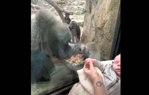 Gorila queda fascinada con un bebé recién nacido