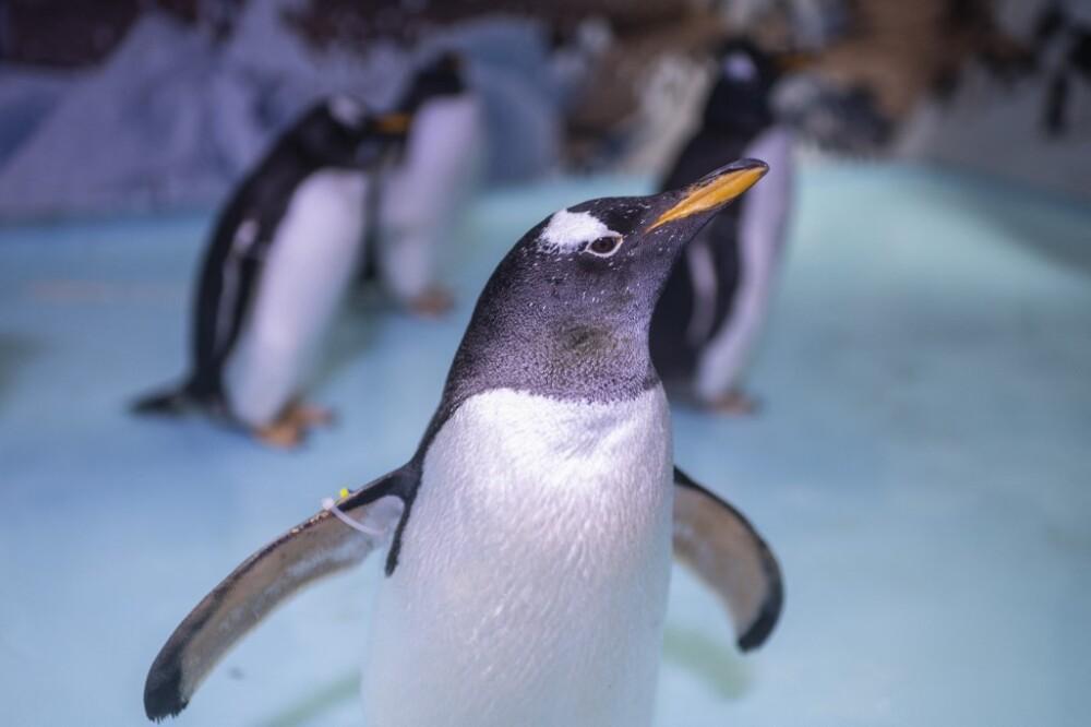 Pingüino papúa