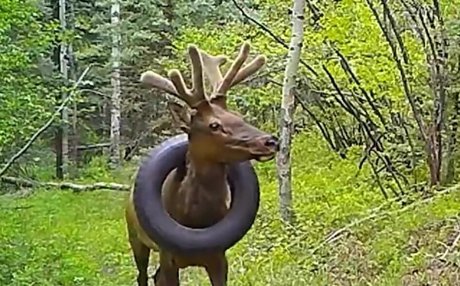 Se presume que el ciervo se enredó en el material antes de que le empezaran a crecer sus cuernos