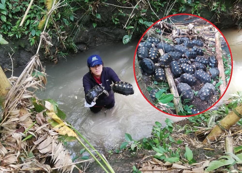 rescate de 500 tortugas en pradera, valle.jpg