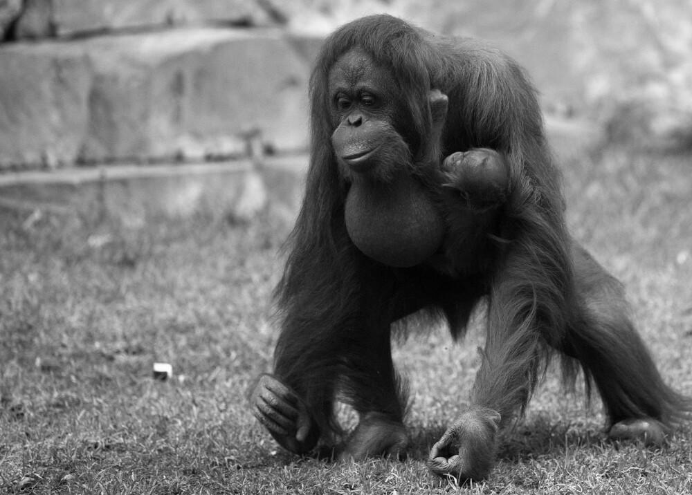Orangután Foto referencia AFP.jpg