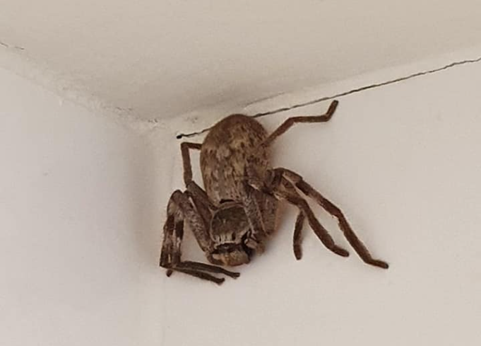 araña gigante en australia.PNG