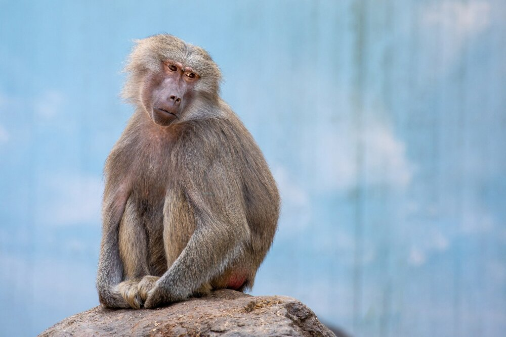Mono que sabe usar el tapabocas mejor que los humanos se vuelve viral