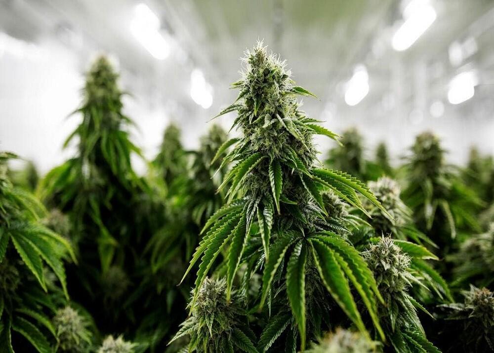 366071_Cannabis medicinal / Foto: Green Health