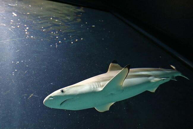 tiburon punta negra
