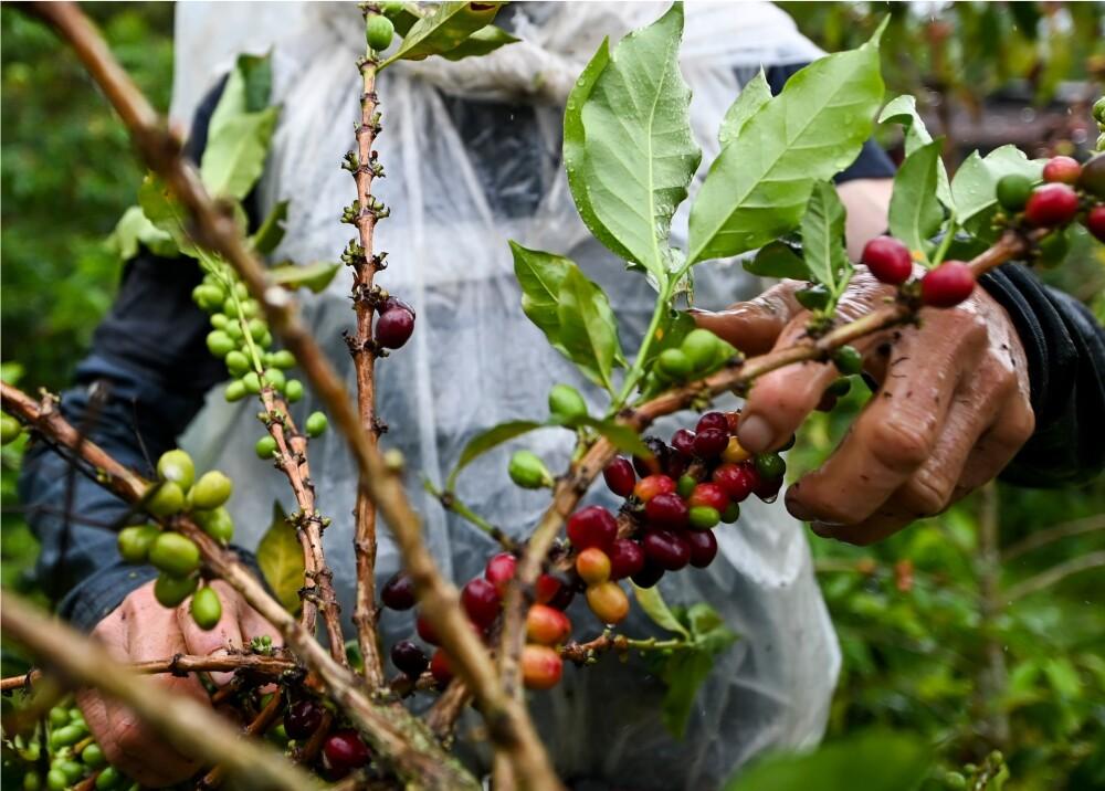 369488_Cultivo de café // Foto: AFP