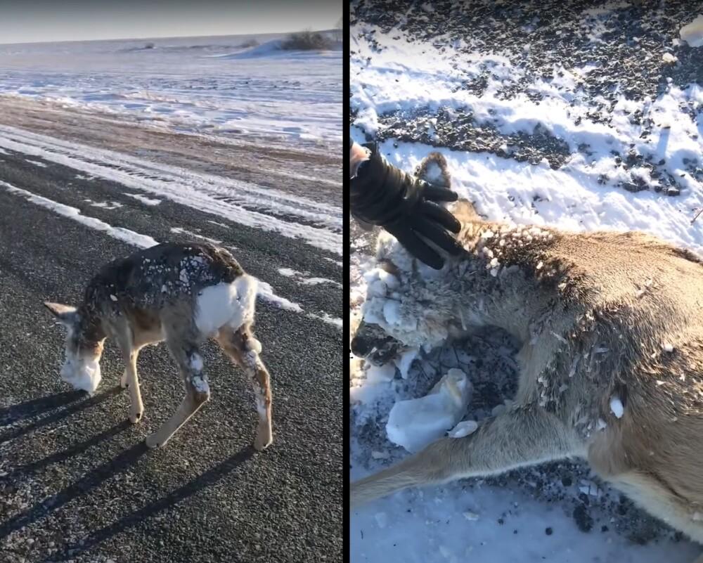 Pobre animalito en Kazajistán.