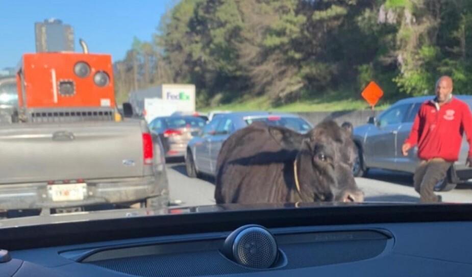 Vaca detuvo el tráfico en autopista de Estados Unidos
