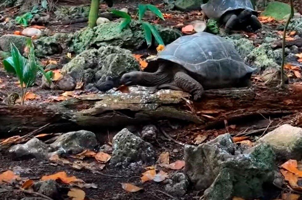 Tortuga gigante cazando
