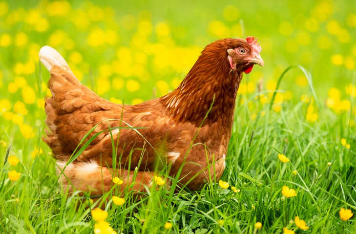 Spring chicked - hen in grass and buttercups
