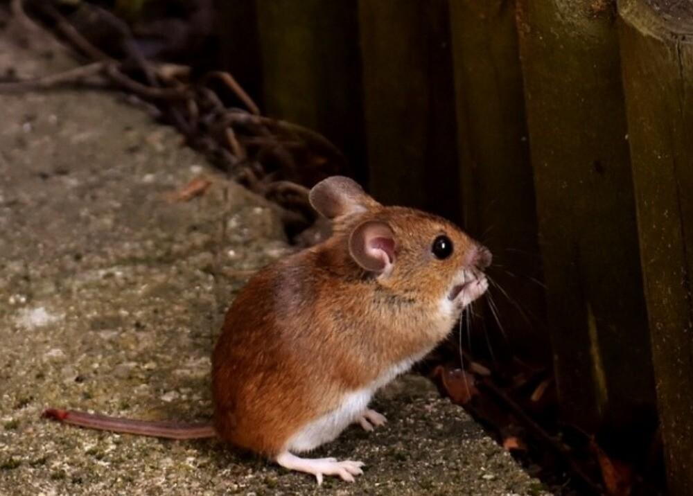 7610_La Kalle - ratón que se baña como un humano - Foto referencia Pixabay