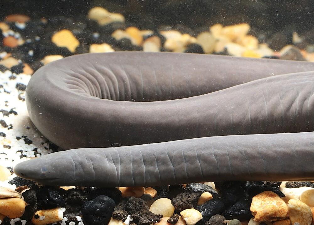 Anfibio encontrado en EEUU Foto_ FloridaMuseum.jpg
