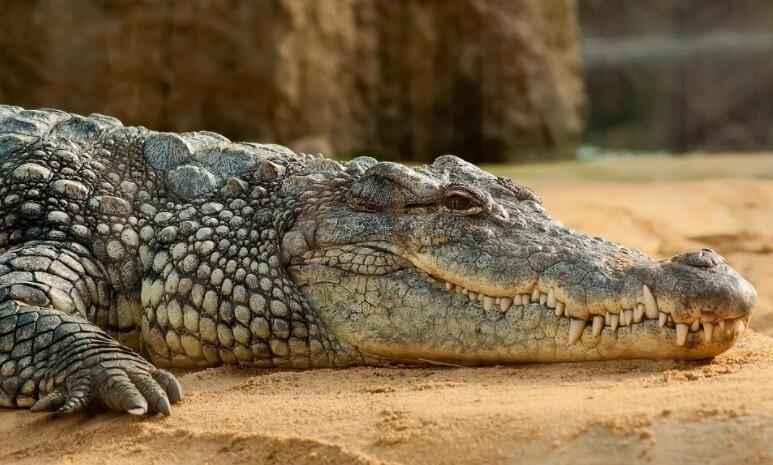 Atrapan a gigantesco caimán en Estados Unidos