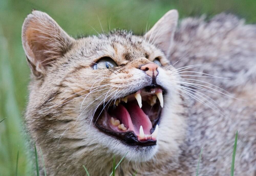 Imagen de referencia de un gato montés