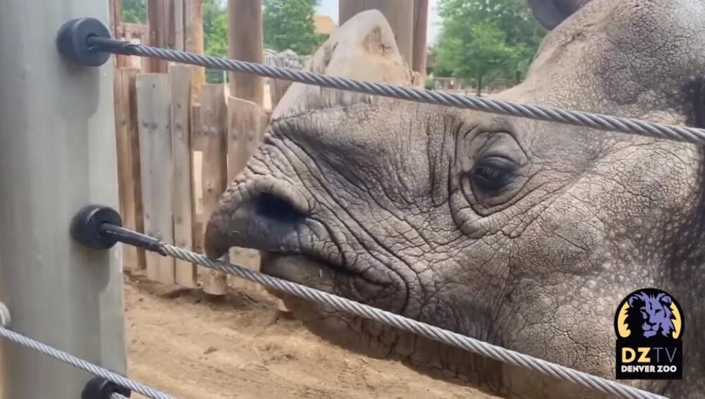 Bandhu, rinoceronte que toca piano
