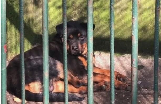 Perro rottweiler que fue pasado como un lobo en un zoologico