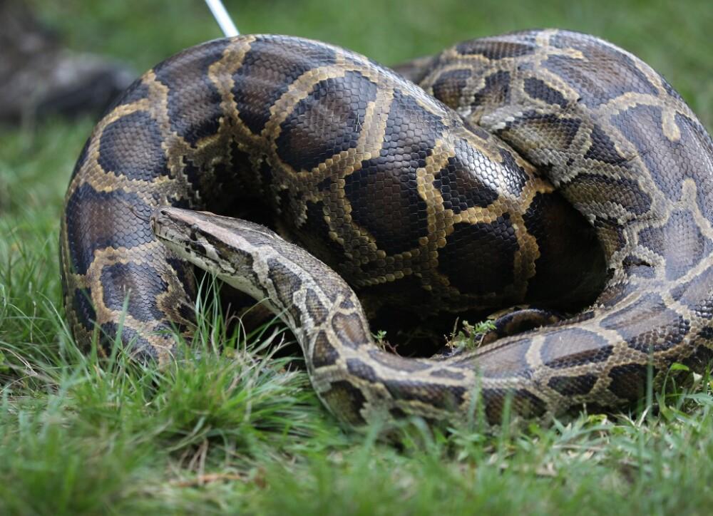 Serpiente Piton.jpg