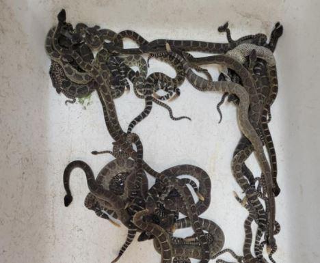 serpientes cascabel.JPG