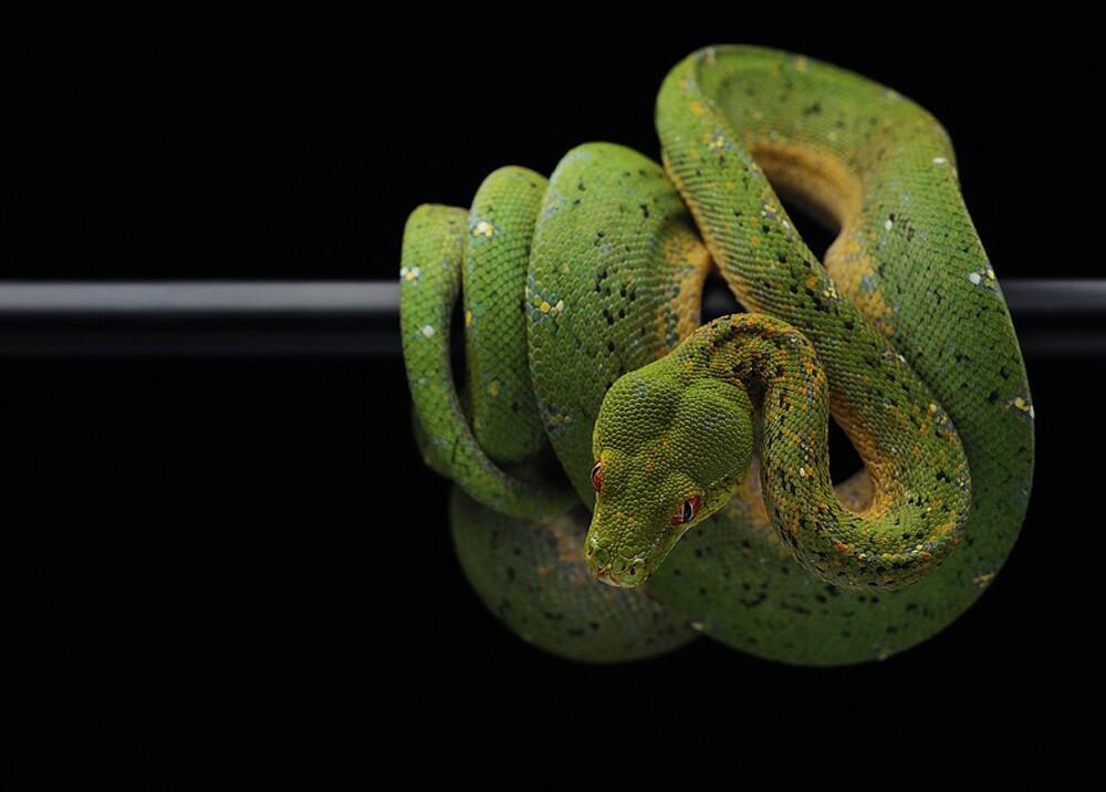 24415_Foto: Serpiente pitón / Ref. Pixabay