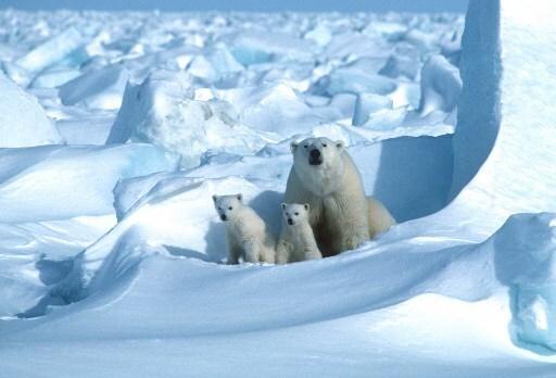 US-ENVIRONMENT-CLIMATE-WILDLIFE-POLAR-BEAR