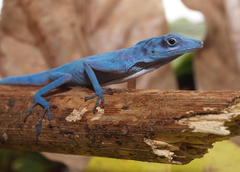 Anolis azul, especie en vía de extinción que solo habita la isla de Gorgona AFP.jpeg