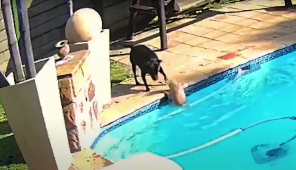 Perra salva a otro perro de morir ahogado en una piscina
