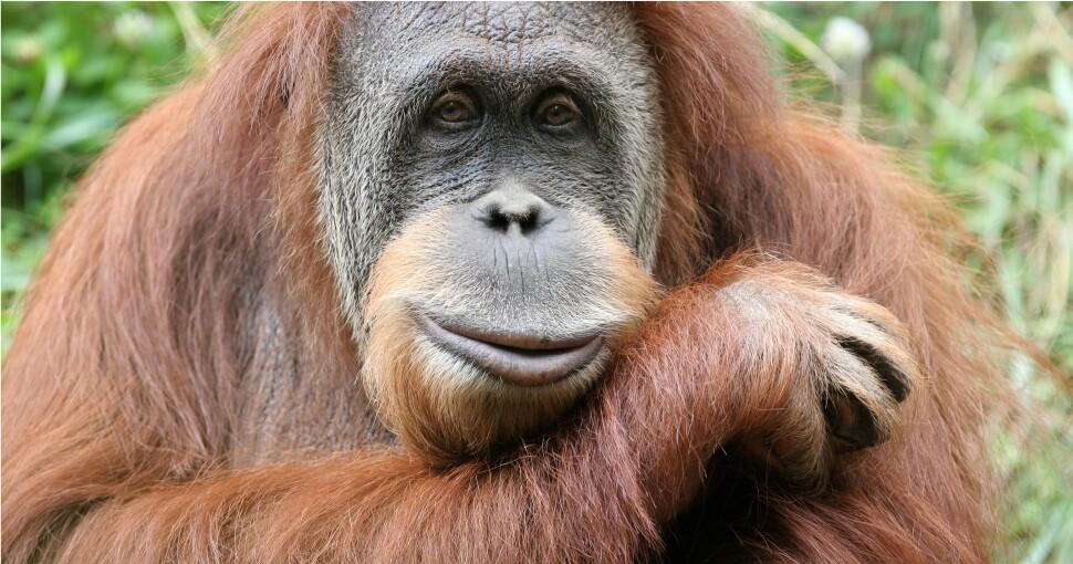 374628_orangutan_1.jpg