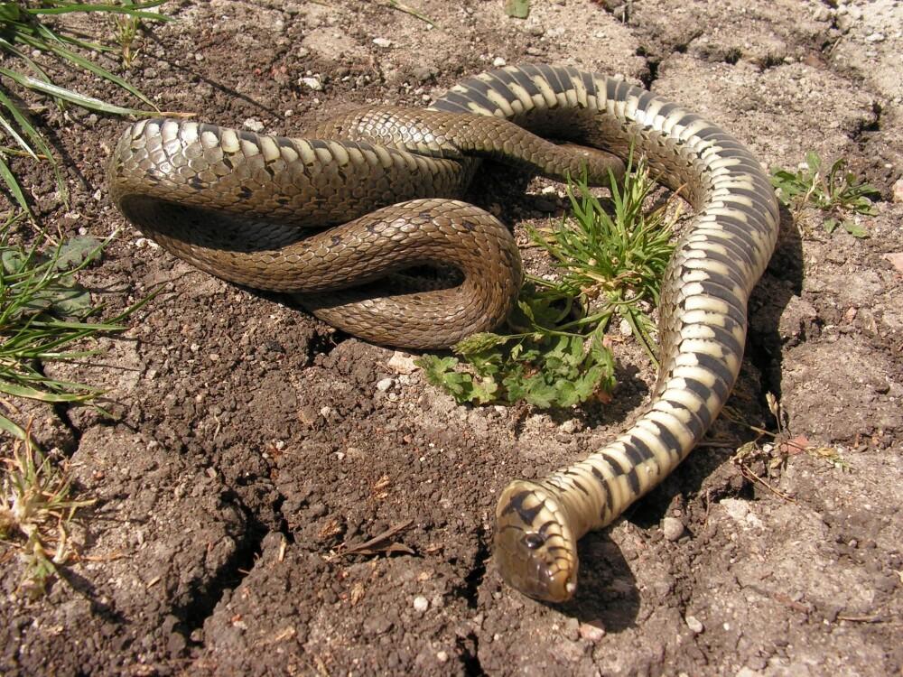snake-611749_1920