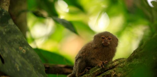 Descubren en Ecuador una nueva especie del primate mas pequeño del mundo