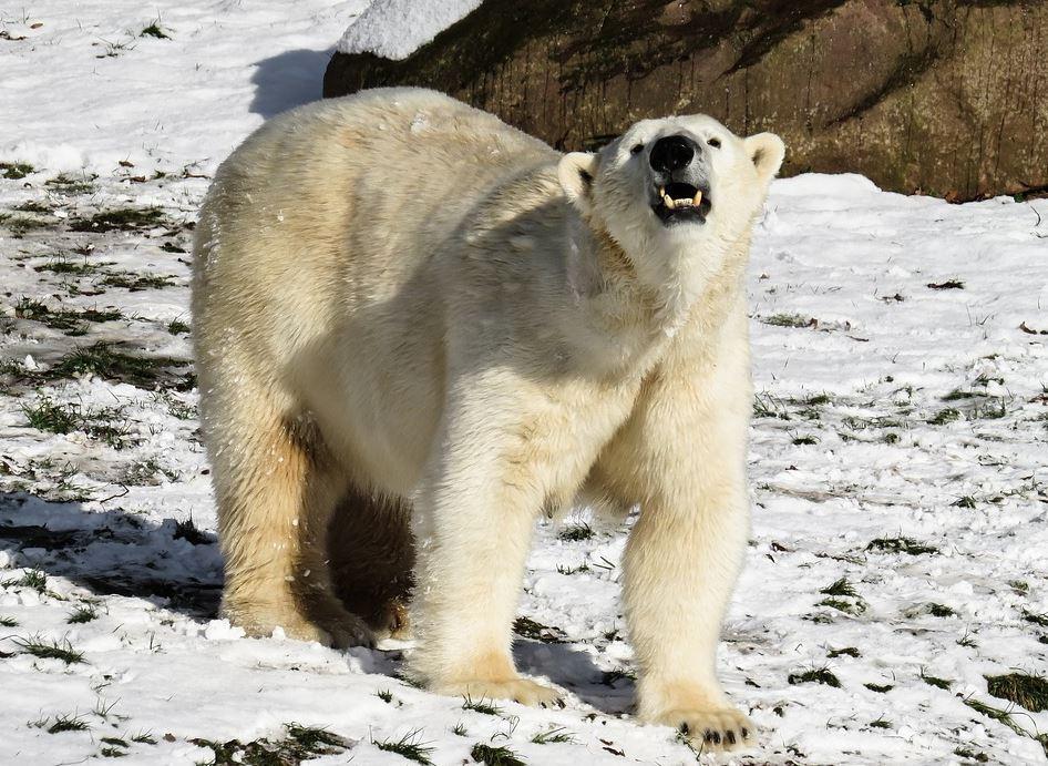oso polar.JPG