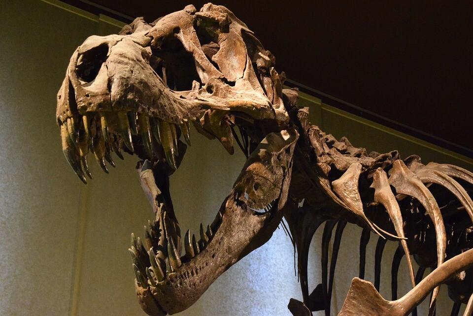 Tiranosaurio rex museo.jpg