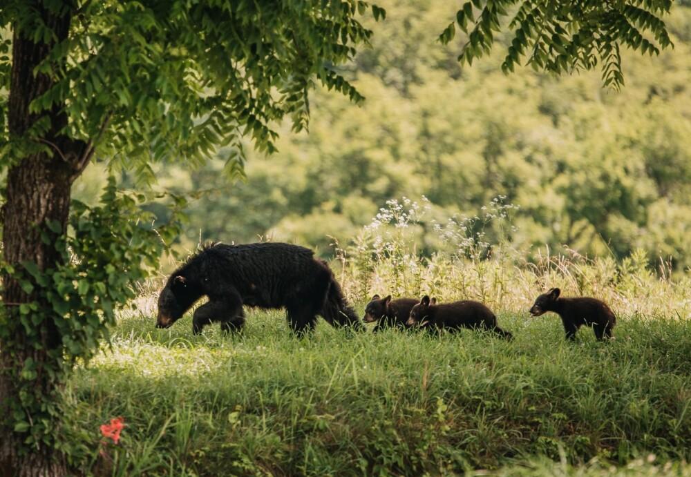 No es la primera vez que ven a esta pareja de osos por la zona