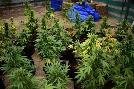 24025_Plantación de marihuana – Foto: AFP