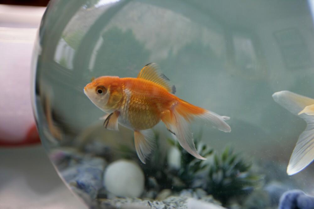 Los peces requieren de un espacio acogedor para desarrollarse adecuadamente.