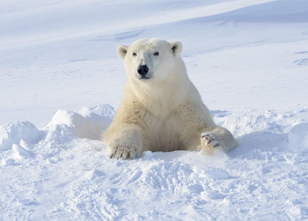 13352_Oso Polar juega con un perrito en Alaska - La Kalle - Getty Images