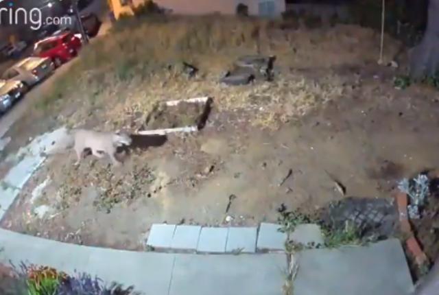 Puma en San Francisco