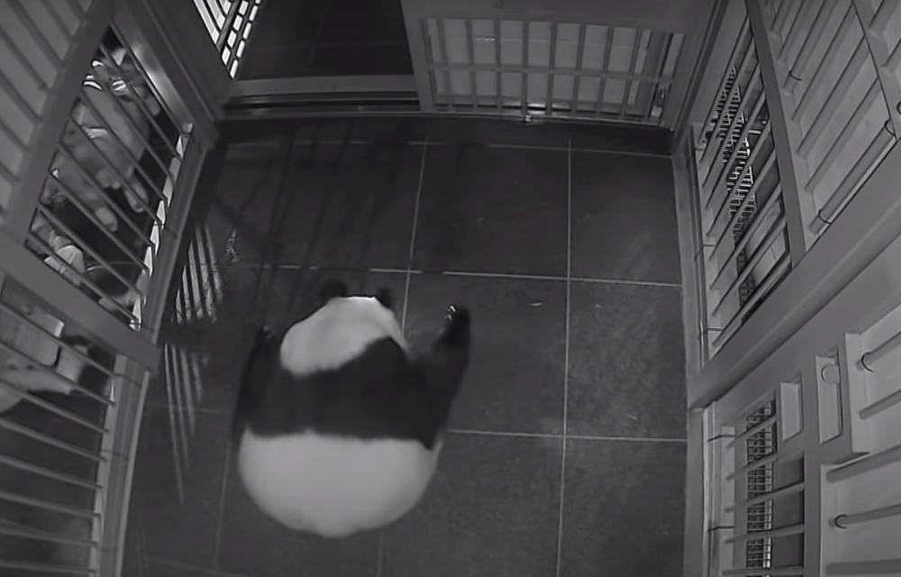 Shin Shin, una panda gigante, ha dado a luz a dos crías en el zoológico de Japón
