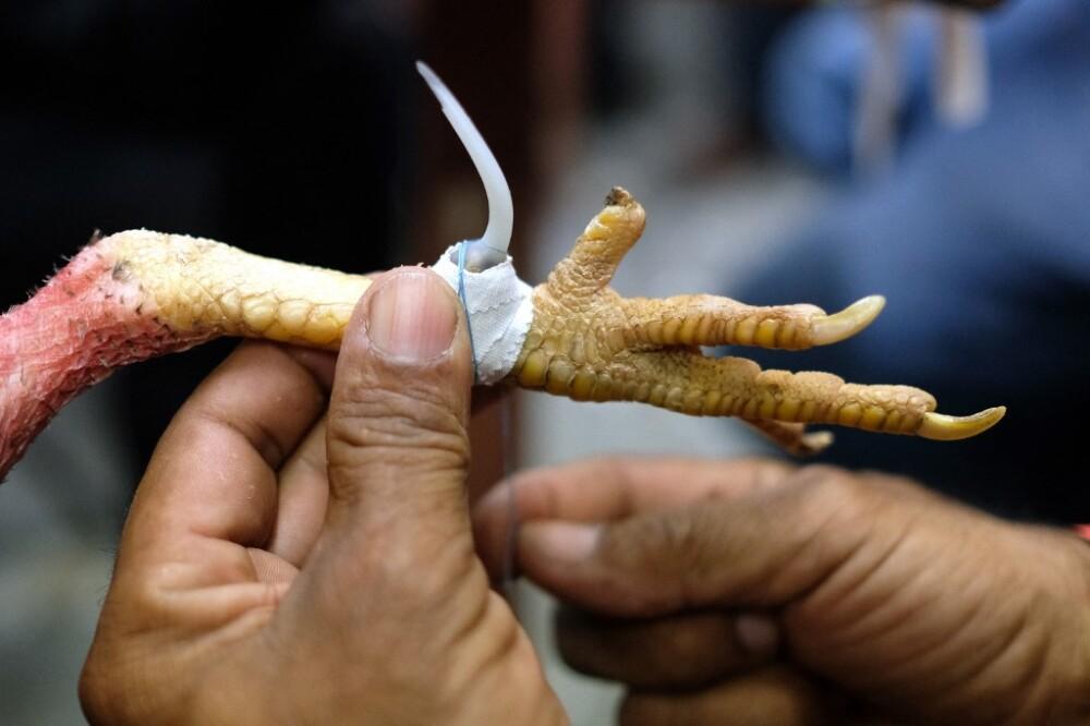 Gallo de pelea mató a su dueño en India