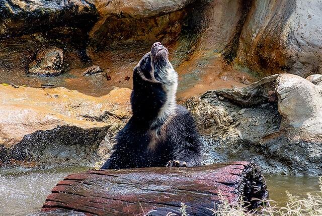 oso-de-anteojos-visto-en-antioquia.jpg