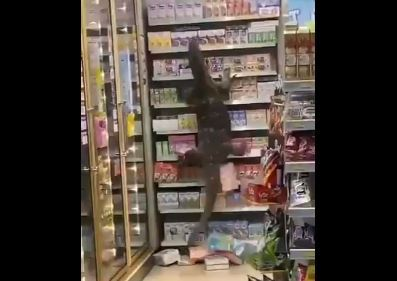 gigante lagarto causó pánico en un supermercado y destruyó todo a su paso.JPG