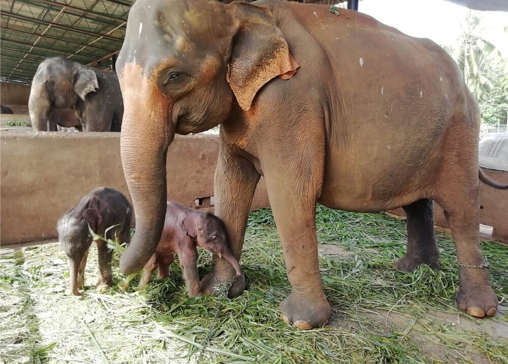 Elefantes gemelos en Sri Lanka Foto AFP.jpg