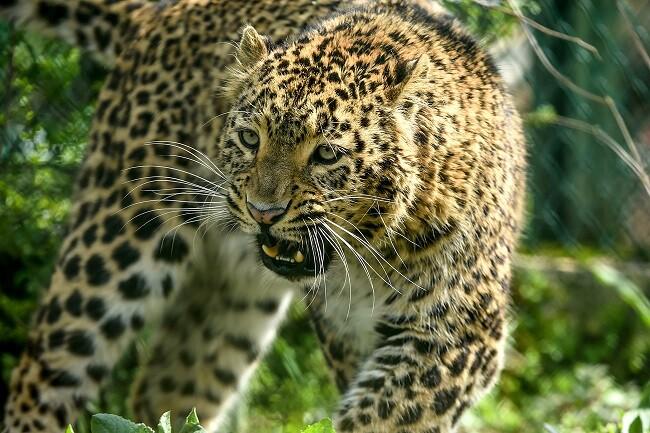 leopardo india