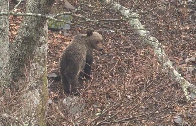 oso pardo foto de referencia