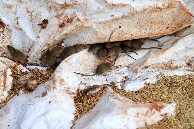 Plaga de ratones en Australia