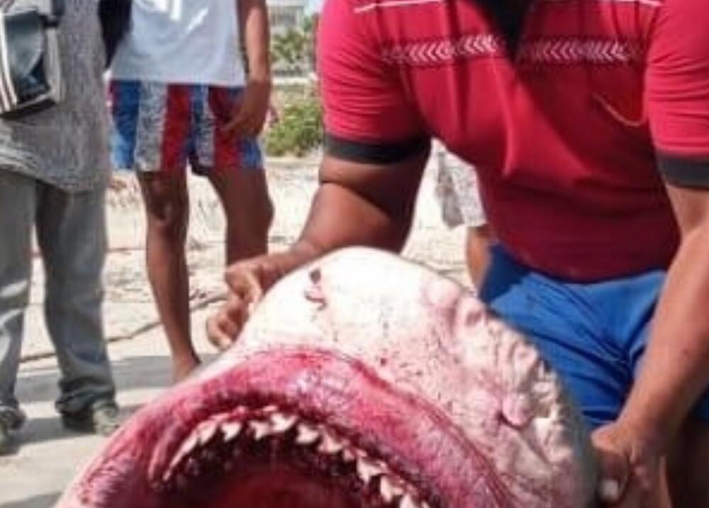 Tiburón cazado en Riohacha Foto Suministrada.jpeg