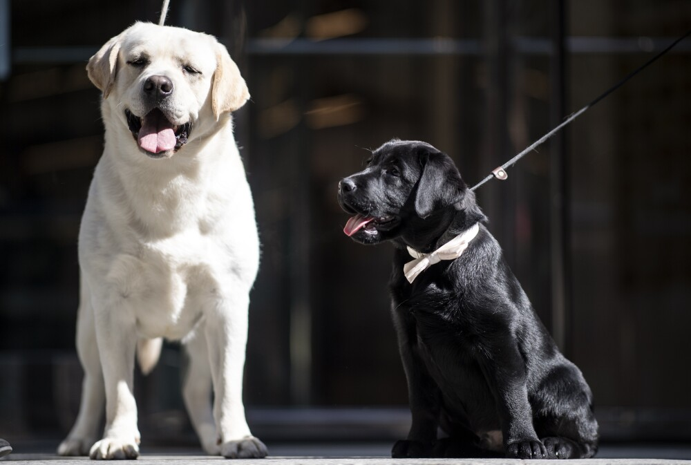 375120_Labradores // Foto: AFP