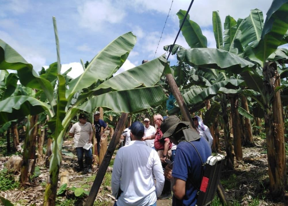 338739_BLU Radio. Plantaciones de Banano / Foto: Augura