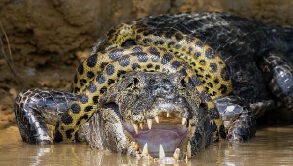 Pelea de caimán y anaconda