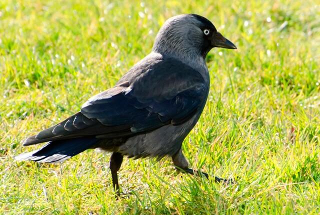 estornino-europeo,-una-de-las-aves-que-mueren-repentinamente-en-estados-unidos.jpg